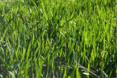 świeżo trawa Obrazy Stock