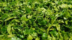 Świeżo ukradziona zieleń opuszcza Ceylon herbaty Zako?czenie zbiory