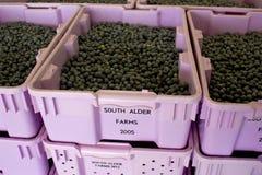 Świeżo ukradzione Bush czarne jagody przygotowywać dla sortować Obraz Royalty Free