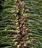 Świeżo Ukradzione cebule Zdjęcia Stock