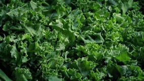 ?wie?o Ukradziony Kale Superfood warzywo zbiory wideo