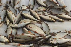Świeżo złapany rybi lying on the beach fotografia stock