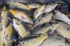Świeżo złapany rybi lying on the beach na kontuarze Zdjęcie Royalty Free