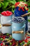 Świeżo zbierać dzikie jagodowe owoc w lecie Fotografia Royalty Free