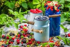 Świeżo zbierać dzikie jagodowe owoc w lecie Zdjęcie Royalty Free