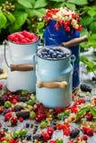 Świeżo zbierać dzikie jagodowe owoc w lecie Obrazy Royalty Free