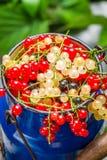 Świeżo zbierać dzikie porzeczkowe owoc Obraz Royalty Free
