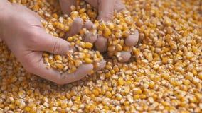 Świeżo zbierać kukurudz adra Rolnictwa tło, kukurydzany zbierać zbiory