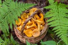 Świeżo zbierać pieczarki w trawie w lesie Obrazy Stock