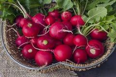 Świeżo zbierająca kolorowa rzodkiew narastająca rzodkiew rosnąca warzywa zdjęcia royalty free