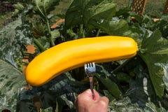 Świeżo zbierający żółty zucchini Obrazy Royalty Free