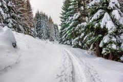 Świeży śnieg na zielonych sosnach obraz stock