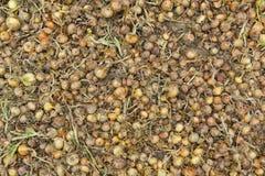 Świeży żółty cebulkowy tło w wielkiej ilości na jarzynowym gospodarstwie rolnym w zapasie obrazy royalty free