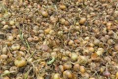 Świeży żółty cebulkowy tło w wielkiej ilości na jarzynowym gospodarstwie rolnym w zapasie fotografia stock