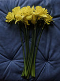Świeży żółty jonquil na błękitnym tle Zdjęcie Royalty Free