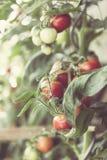 Świeży życiorys befsztyka pomidor Obrazy Stock