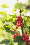 Świeży życiorys czerwony rodzynek Zdjęcie Stock
