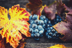 Świeży, życiorys i organicznie dojrzały winogrona żniwo przy winnicą, Fotografia Stock