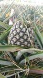 Świeży ananasa gospodarstwo rolne Chaiyaphum Tajlandia Obraz Stock