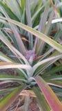 Świeży ananasa gospodarstwo rolne Chaiyaphum Tajlandia Obraz Royalty Free