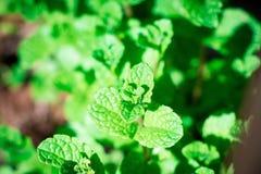 Świeży aromatyczny Nowy rośliny ziele zieleni liścia zakończenie w górę kolorowego zdjęcie royalty free