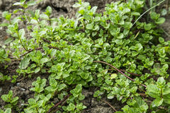 Świeży aromatyczny nowy ziele lecznicza roślina w ogródzie obrazy stock