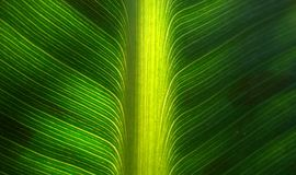 Świeży bananowy liść Zdjęcia Stock