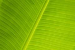 Świeży bananowy liść Fotografia Royalty Free