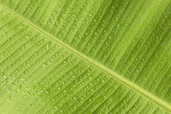 Świeży Bananowy liść z wodnymi kroplami Obrazy Stock