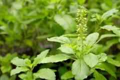 Świeży basilu kwiat i basilu liścia roślina w ogródzie Zdjęcia Royalty Free