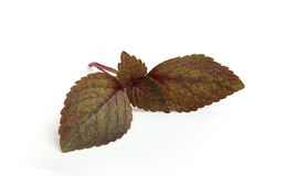 Świeży basilu liść. Fotografia Royalty Free