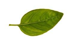 świeży Basilu liść Zdjęcie Stock