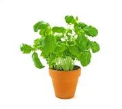 świeży Basilu ziele Fotografia Stock