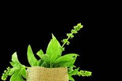 Świeży basilu ziele zbliżenie Obraz Stock