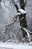 Świeży Biały Śnieżny Odpoczywać na Starym zimy drzewie zdjęcie stock