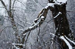 Świeży Biały Śnieżny Odpoczywać na Starym zimy drzewie fotografia royalty free