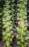 Świeży Brussels flancy drzewo Fotografia Stock