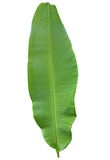 Świeży cały bananowy liść Zdjęcie Royalty Free