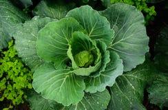 Świeży cabbage_01 Zdjęcie Royalty Free