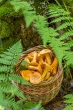 Świeży chanterelle ono rozrasta się w łozinowym koszu w lesie outdoors Fotografia Stock