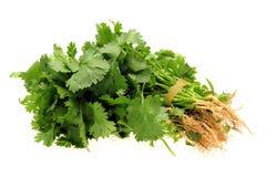 Świeży cilantro zdjęcia royalty free