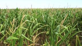 Świeży cob dojrzały kukurudzy zieleni pole zdjęcie wideo