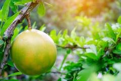 Świeży Crescentia cujete na kalabasy drzewie zdjęcie royalty free