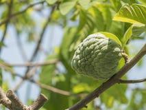 Świeży custard jabłko na drzewie w ogródzie Obraz Stock