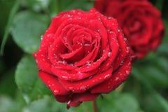 Świeży czerwień ogród wzrastał w deszcz kropli Rosa na kwiatów płatkach Zdjęcie Royalty Free