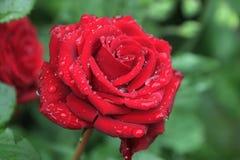 Świeży czerwień ogród wzrastał w deszcz kropli Rosa na kwiatów płatkach Zdjęcia Stock