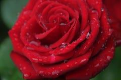 Świeży czerwień ogród wzrastał w deszcz kropli Rosa na kwiatów płatkach z bliska Zdjęcie Stock
