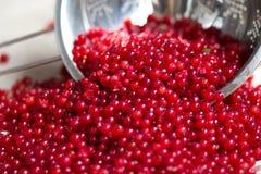 świeży czerwonego rodzynku jagod żniwo w metalu colander obraz royalty free