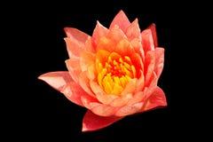 Świeży czerwony lotos na czerni Fotografia Stock