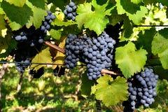 Świeży czerwony winogrono Zdjęcia Royalty Free